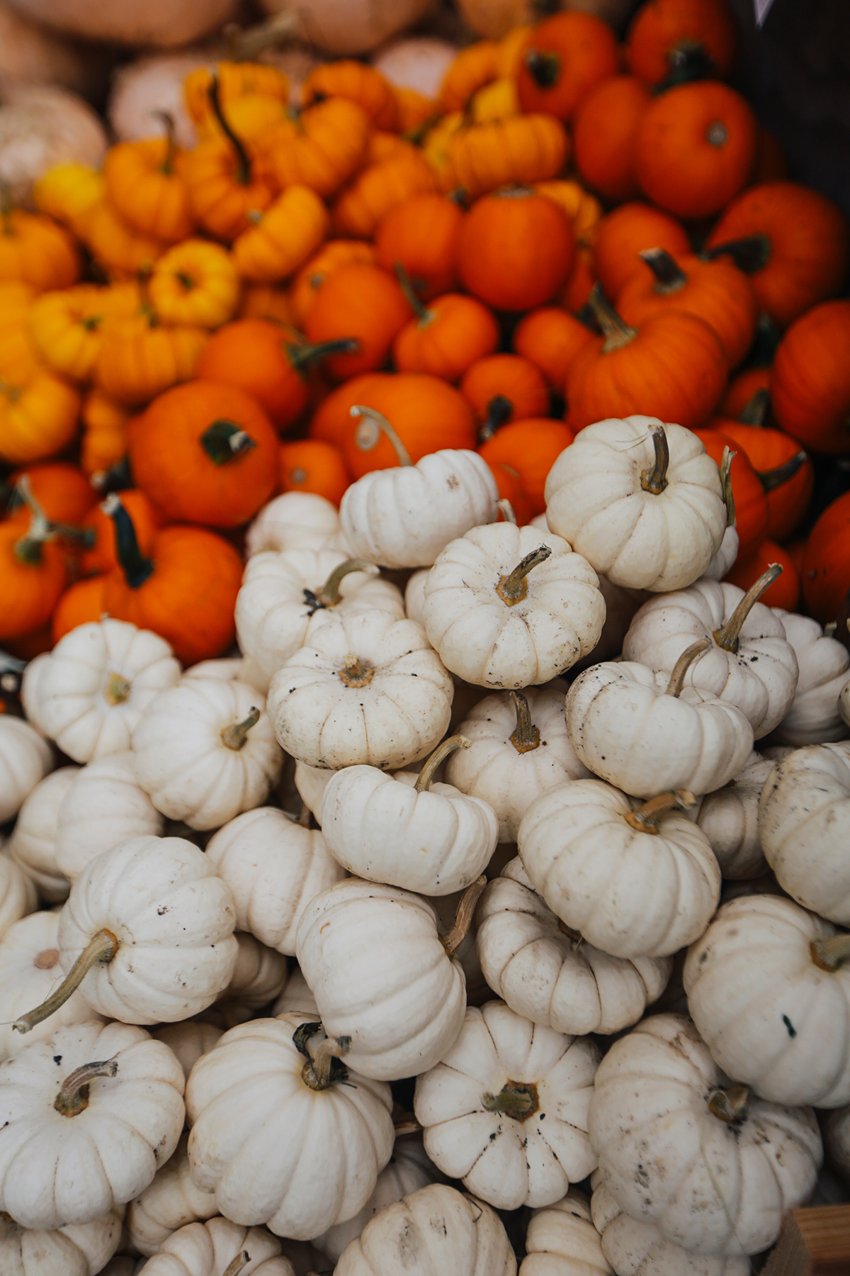 Pumpkins of all colors