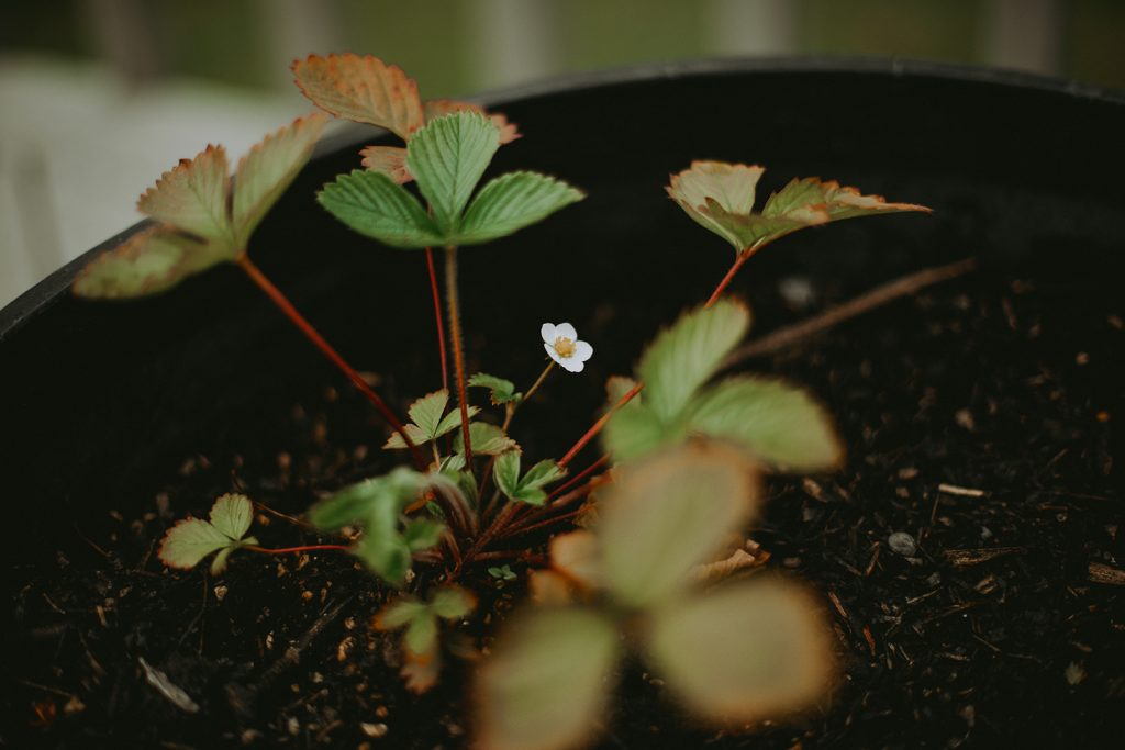 A strawberry flower blooms on a mignonette strawberry plant.